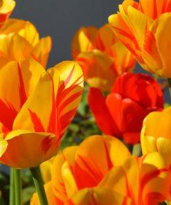 Blumenzwiebeln/Knollen